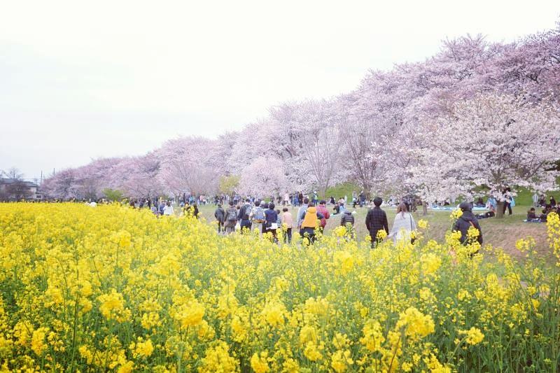 gongendo-sakura7