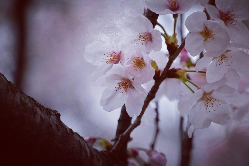 gongendo-sakura10