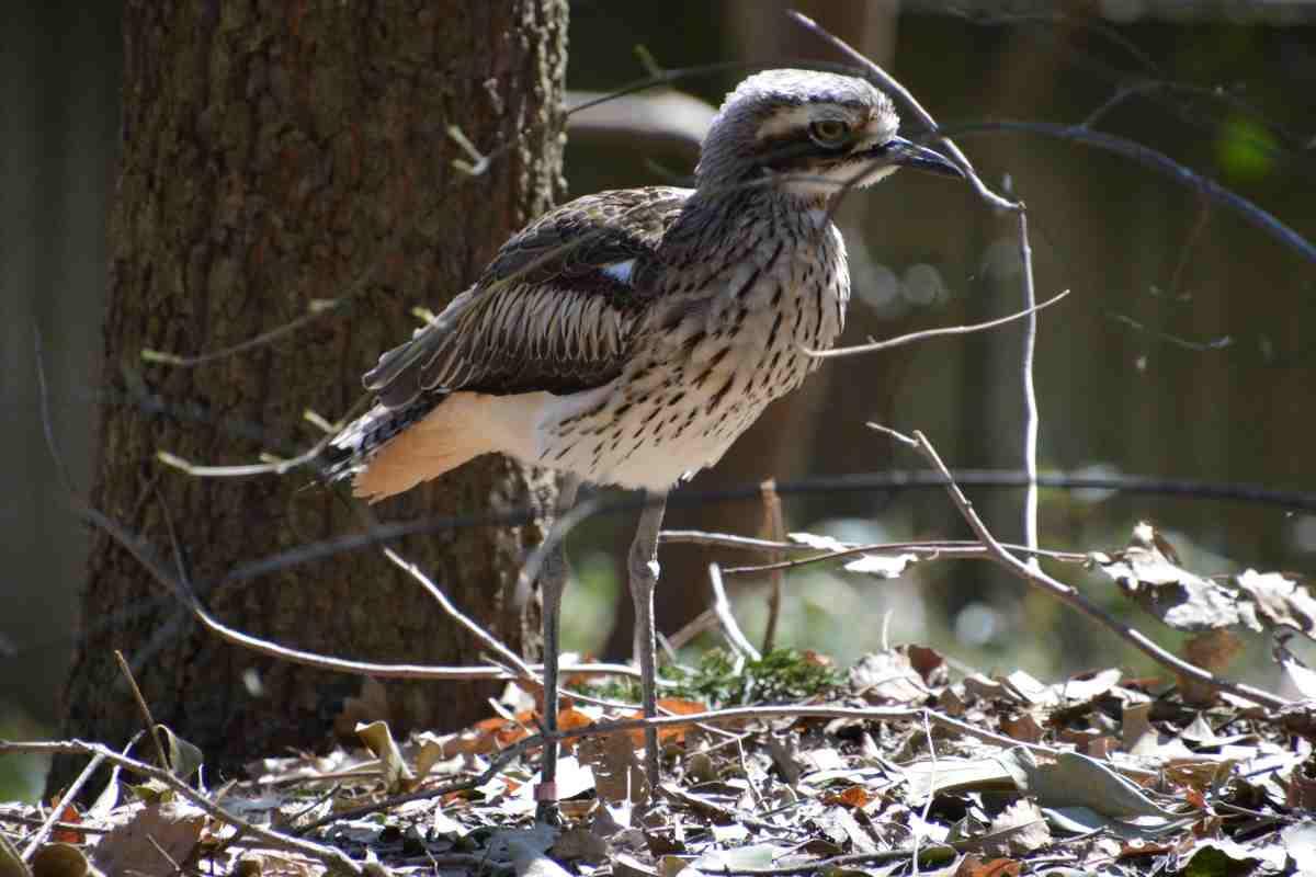 キャンベルタウン野鳥の森のイシチドリ