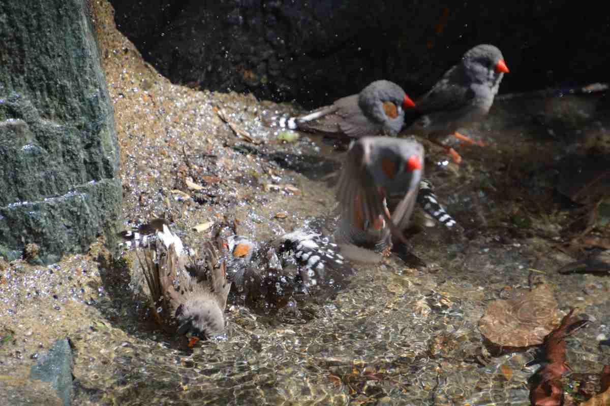 キャンベルタウン野鳥の森のキンカチョウ