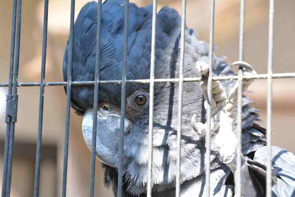 キャンベルタウン野鳥の森のアカオクロオウム