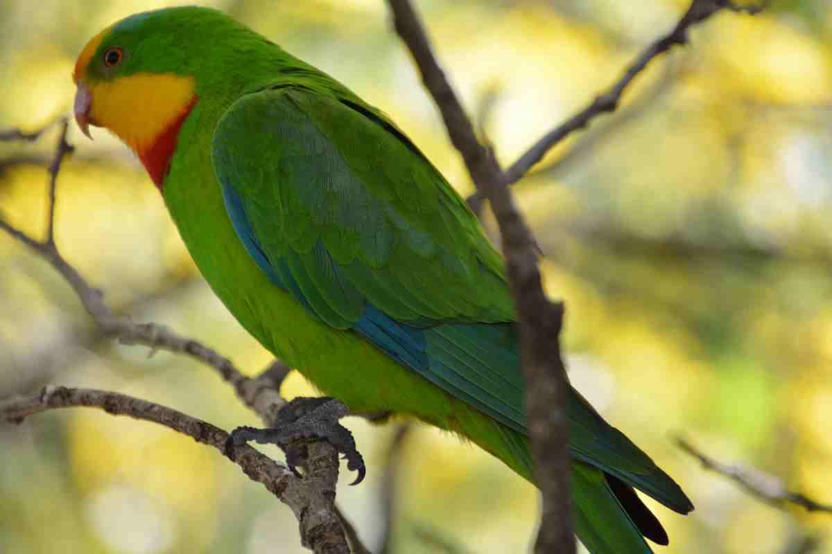 キャンベルタウン野鳥の森のミカヅキインコ