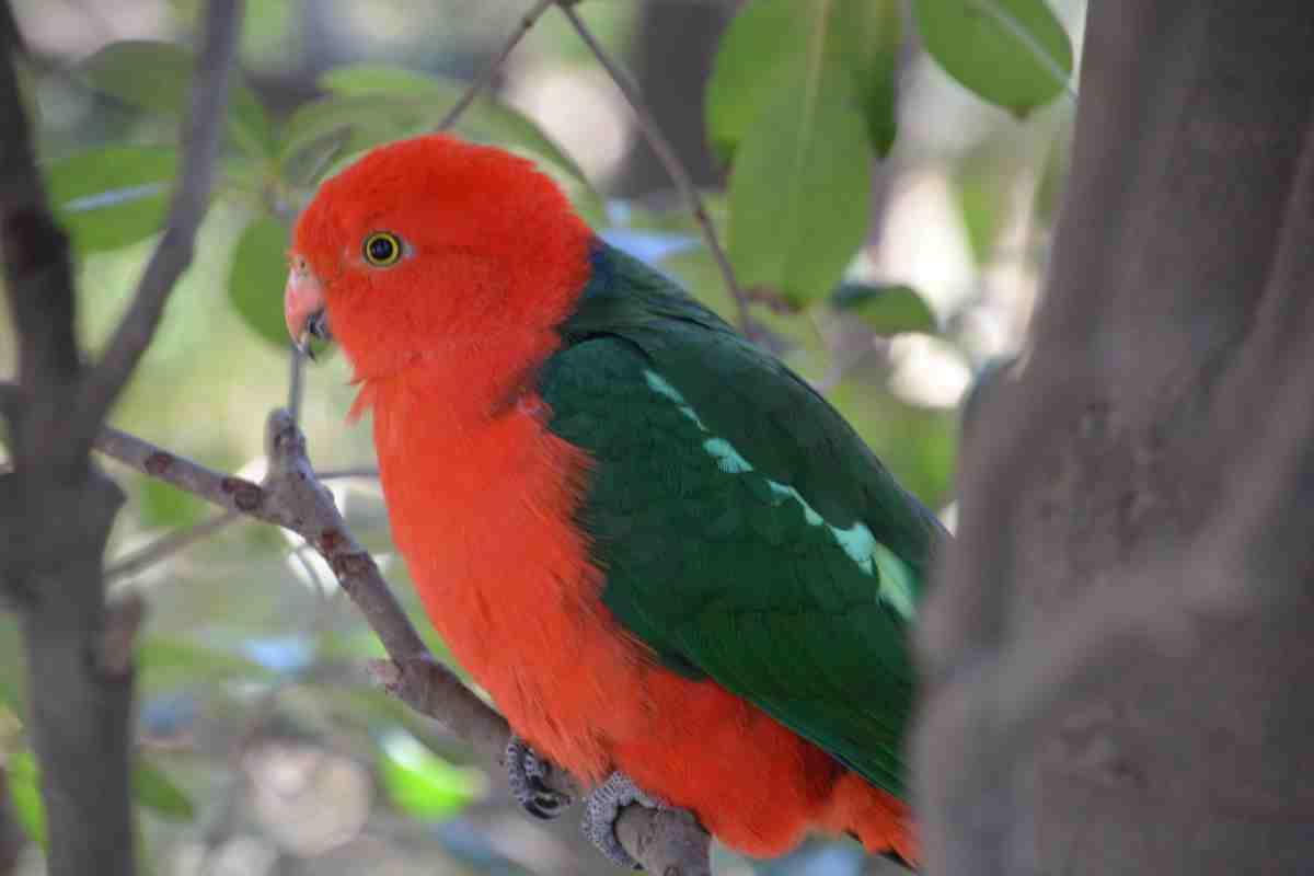 キャンベルタウン野鳥の森のキンショウジョウインコ