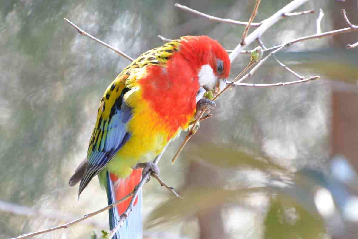 キャンベルタウン野鳥の森のナナクサインコ