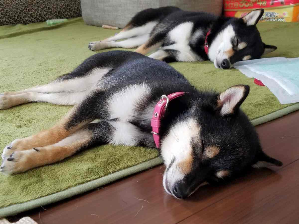 2匹の犬が絨毯で寝ている