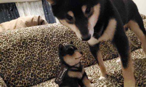 黒豆柴の置物の隣に犬(うみ)