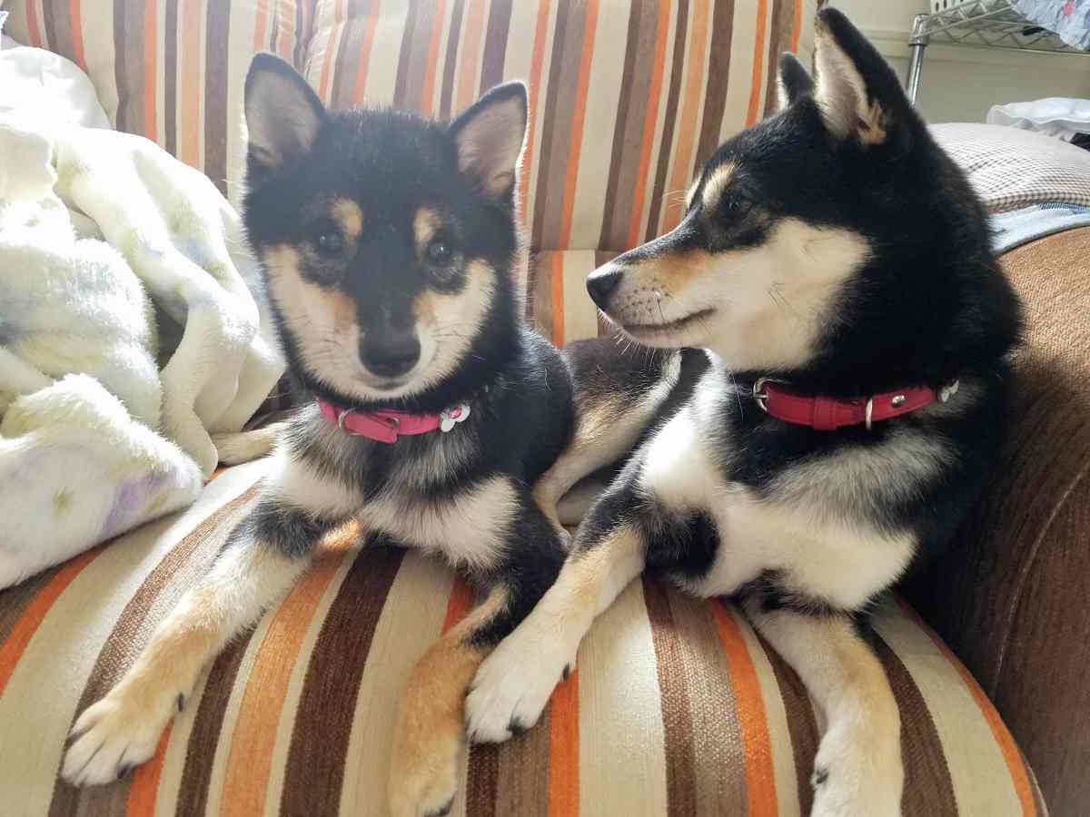 2匹の犬がソファーの上でまったりしている
