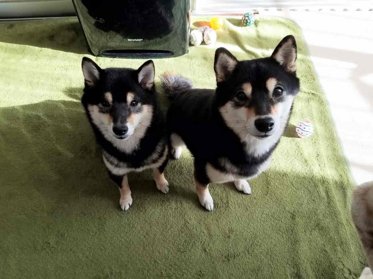 2匹の犬がおすわりをしてこっちを見ている