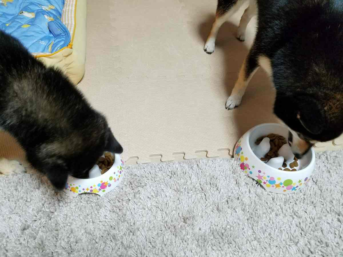 2匹の犬がご飯を食べている