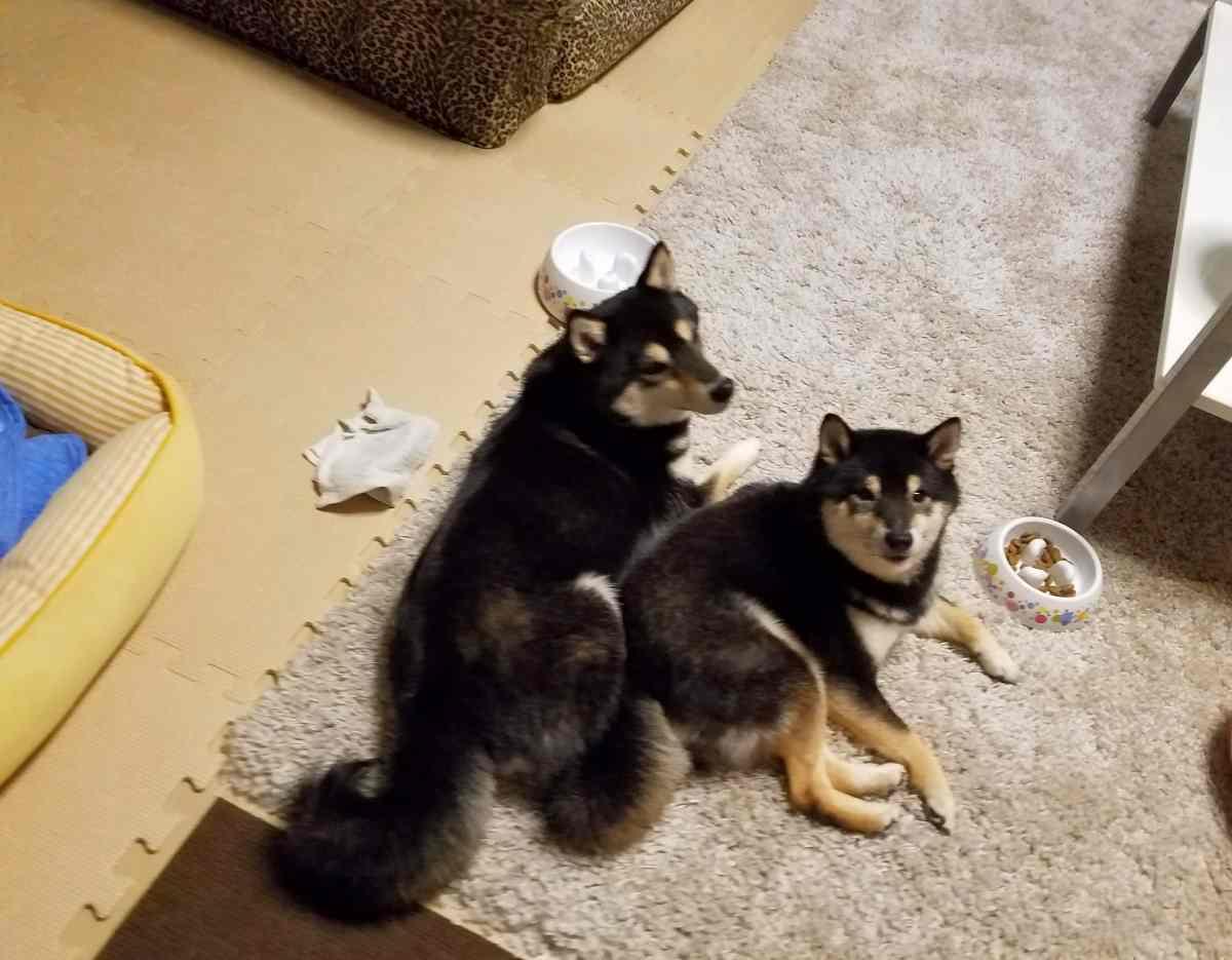 2匹の犬がくっついてふせをしている