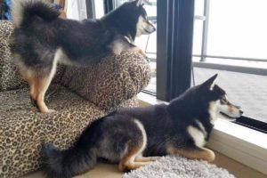 2匹の犬が窓を見ている