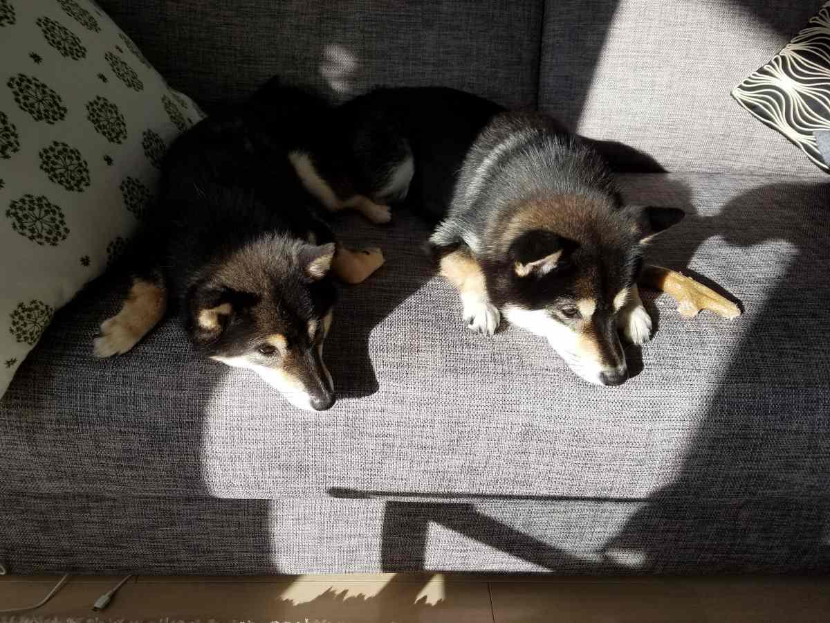 2匹の犬がソファーでふせをしている