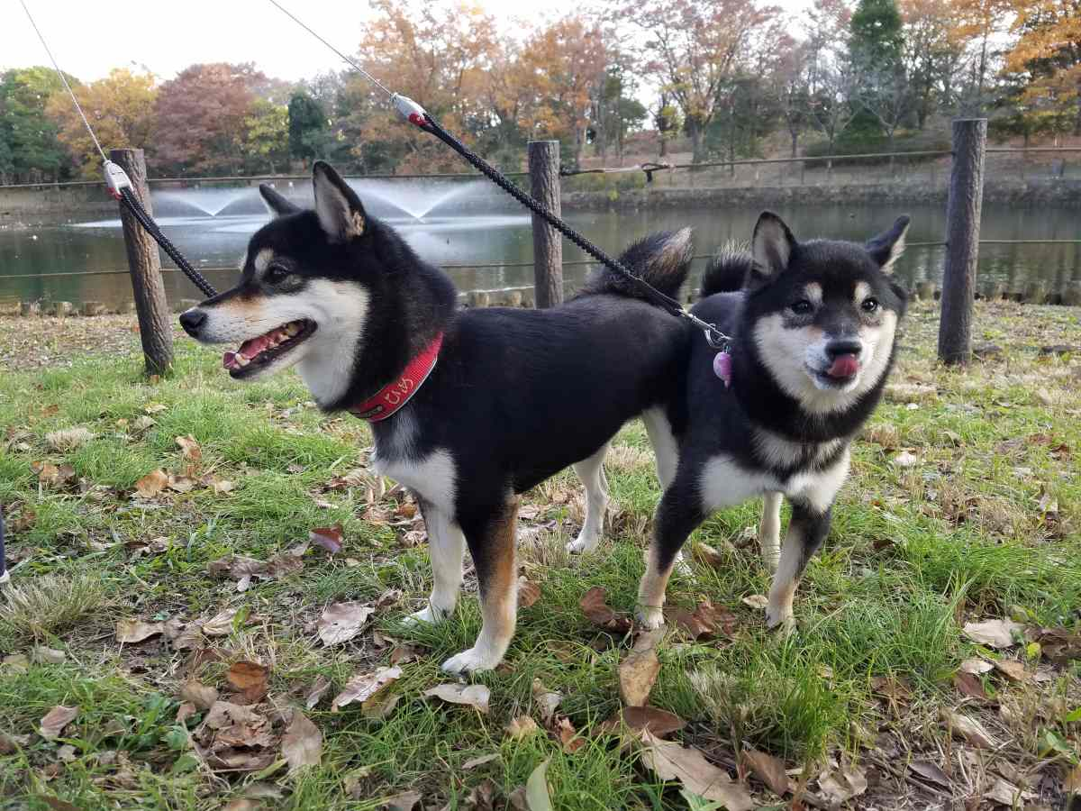 2匹の犬が芝生の上に立っている