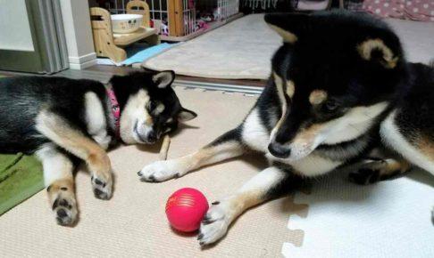 犬がボールで遊ぼうとしている
