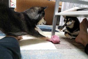 犬(ひめ)と犬(うみ)がくつ下をにらみつけている