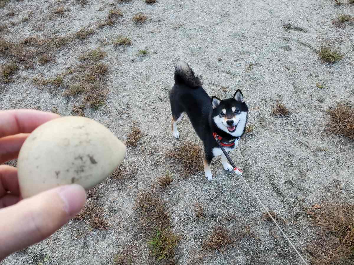 ボールを見せたら笑顔になった犬(ひめ)