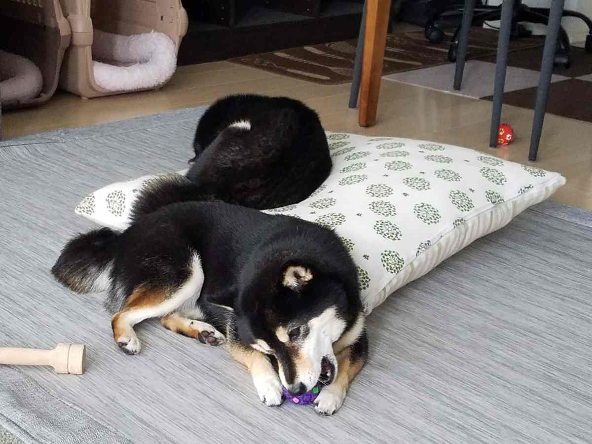 犬(うみ)が寝ている横で、もう一匹の犬(ひめ)がボールで遊んでいる