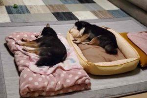 犬(ひめ)と犬(うみ)が並んで寝ている