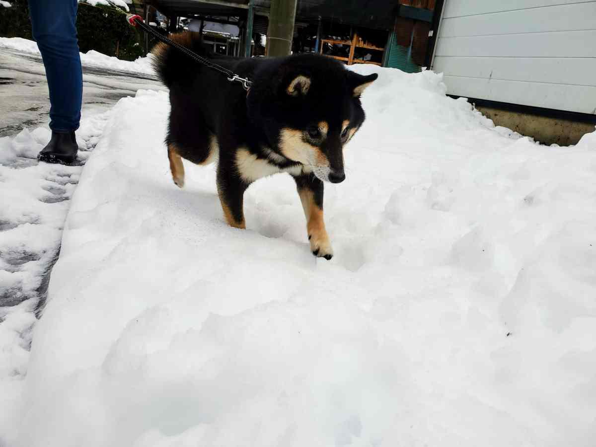 雪の上を歩く犬(うみ)