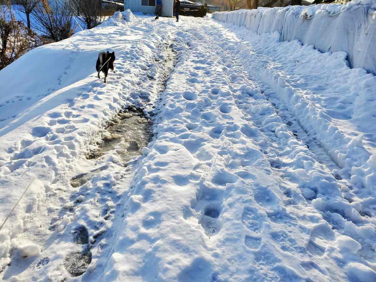 雪の上のデコボコ道を歩く犬(うみ)