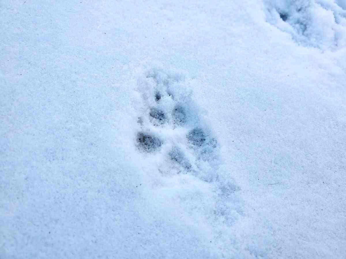 雪の上の犬の足跡