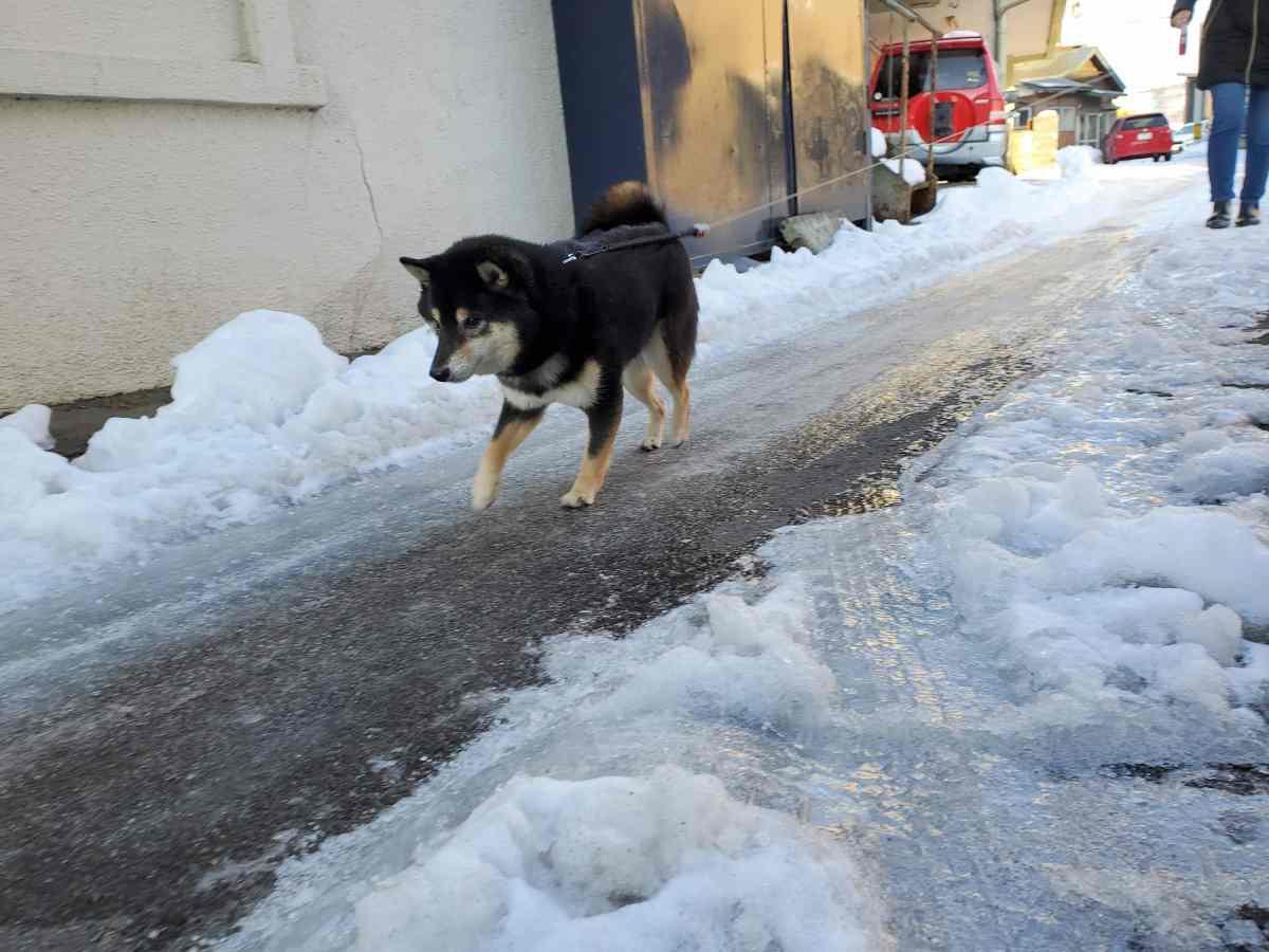滑る道を軽快に歩く犬(うみ)