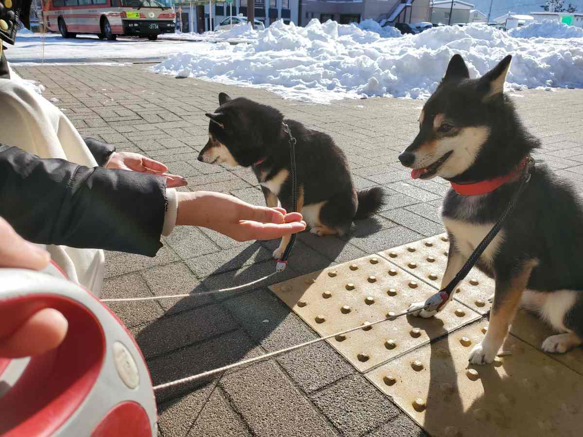 おやつの前でマテをしている犬2匹