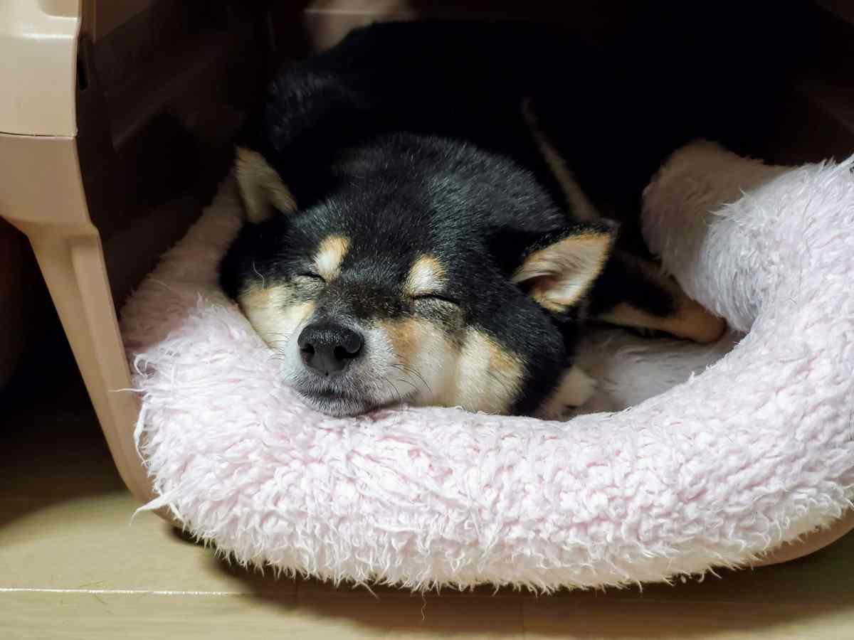 クッションの上で寝ている犬(うみ)